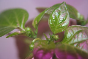 pepper14