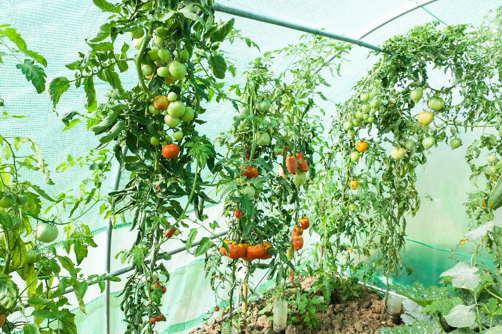 Using A Greenhouse To Grow Vegetables In Winter Garden Greenhouse