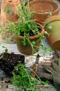 Italian oregano and garden supplies