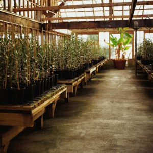 Olive trees in greenhouse