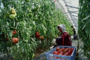 Woman harvesting tomatoes in greenhouse