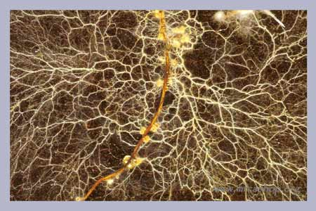 symbiotic relationship between plants and mycorrhizae soil