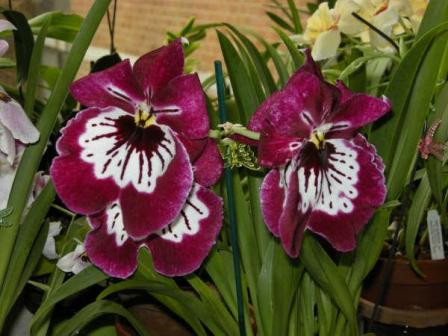 Miltonia Orchid Care Garden Amp Greenhouse