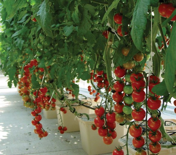 Plants To Grow In A Hydroponic Greenhouse