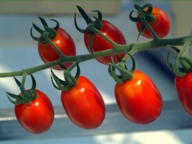 Growing Hydroponic Tomatoes Garden Amp Greenhouse
