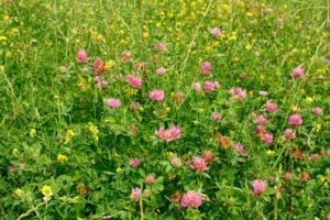 garden cover crop. Cover Crops Should Be Grown To Improve The Soil In Your Garden. Garden Crop