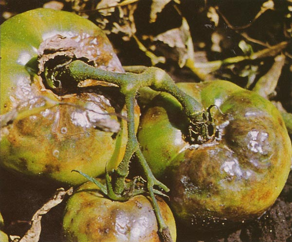 Identifying and Preventing Late Blight - Garden & Greenhouse