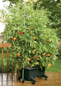 earthbox-with-tomatoes