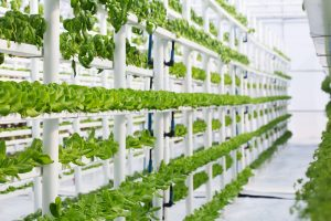 A Vertical Indoor Hydroponic Vegetable Farm, Growing Many Rows Of Butter  Lettuce, Basil, Mint And Other Herbs. This Is A Modern And Space  As Well  As ...
