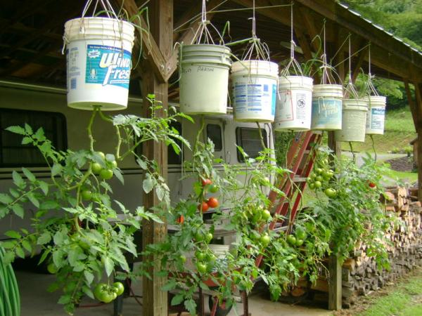 Turning Tomato Growing Upside Down Garden Greenhouse