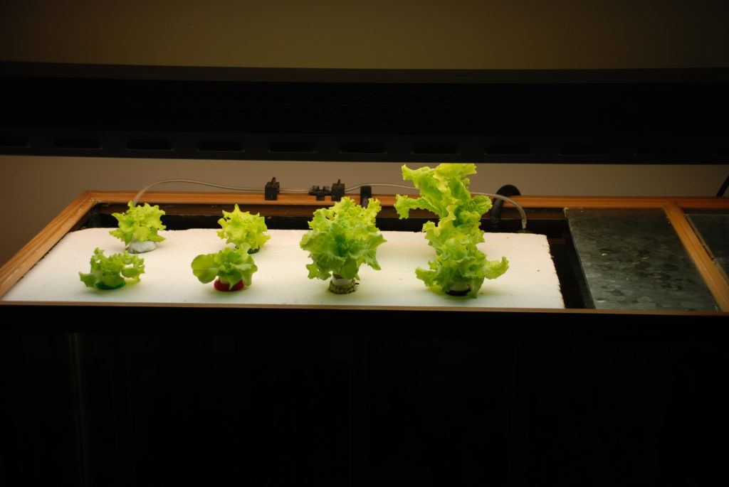 Easy Lettuce Growing With A Raft Aquaponic System Garden