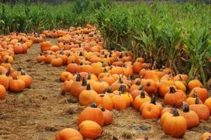 PumpkinsInField