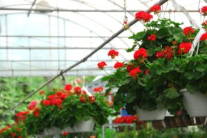 Using A Greenhouse To Start Flower And Vegetable Plants In March