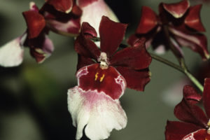 Tropical orchid, red and white-colored, close-up, Kauai, HI, USA