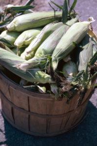 Ears of corn in bushel basket