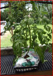 tomato in a bag 2