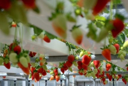 Strawberries in NFT Hydroponic System