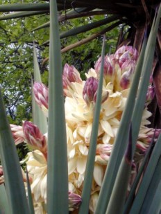 Yucca with Blooms