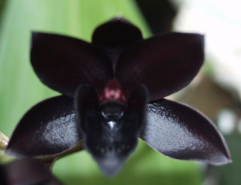 Black Orchids Gained The Retion As Mysterious Flowers They Are Mistakenly Perceived To Possess Magical S Often Portrayed In Witchcraft