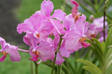 Vanda Orchid