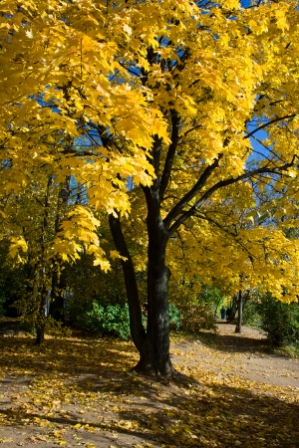 Yellow Maple Tree