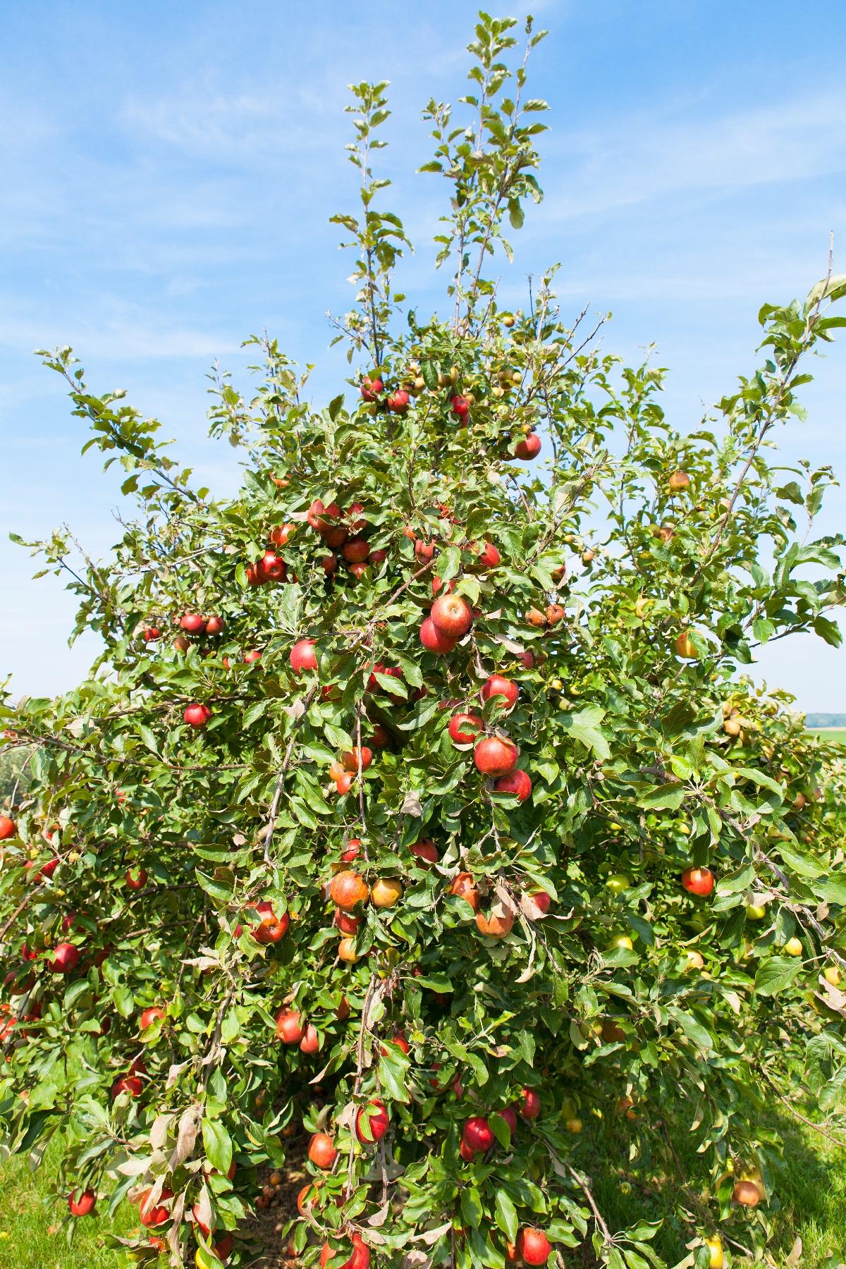 Apple Tree - Garden & Greenhouse