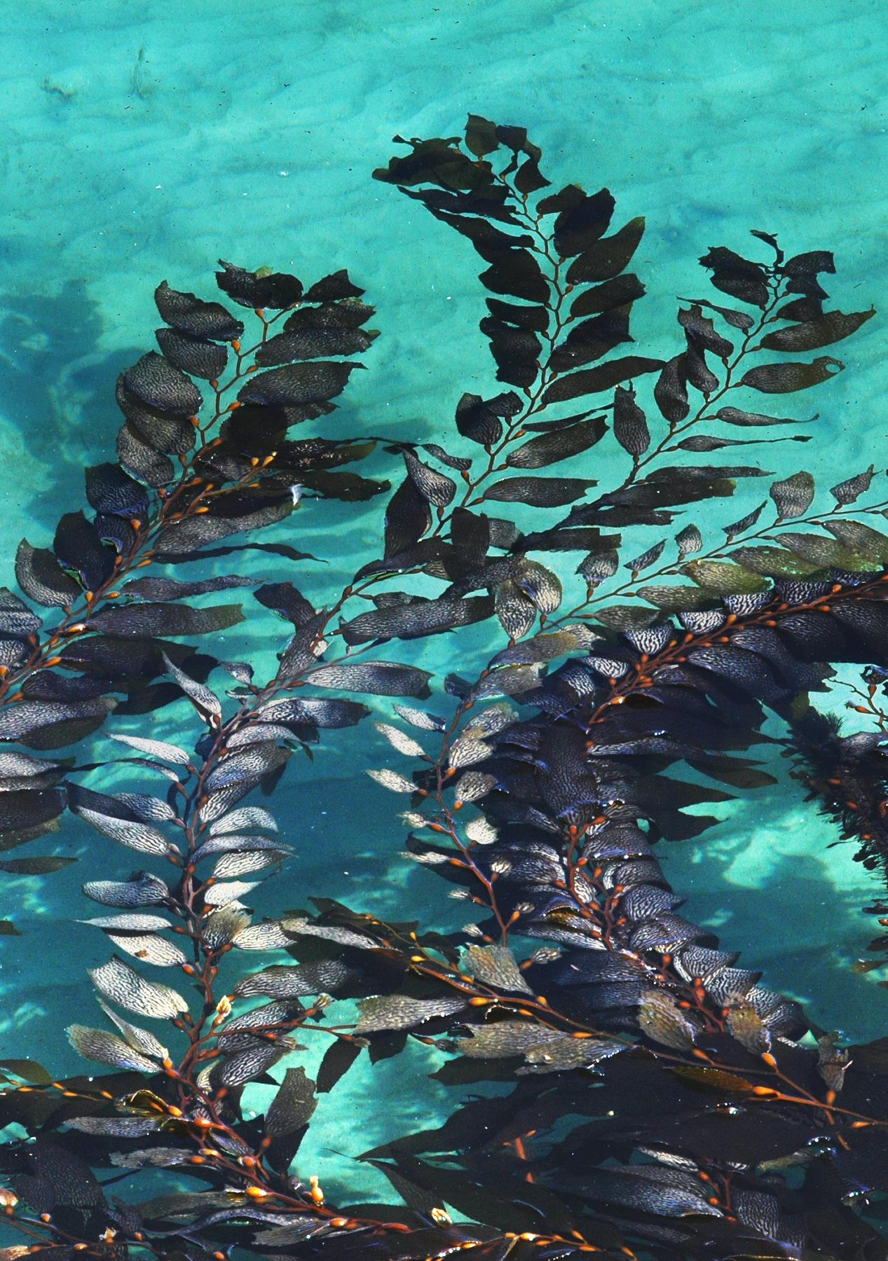 Dried Kelp Benefits In The Vegetable Garden Garden