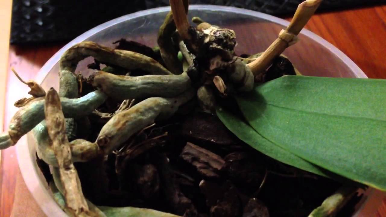Orchid Root Rot Causes Amp Cures Garden Amp Greenhouse